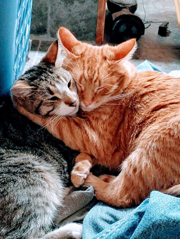 Можно ли подружить двух кошек? Царство домашних животных.